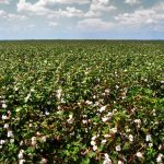 Cotton_fields,_Tensas_Parish,_Louisiana,_USA_5
